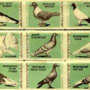 Pigeons species