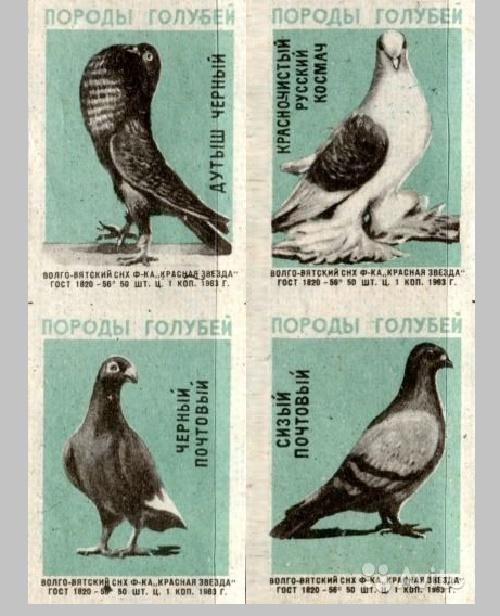 Pigeon species, 1965