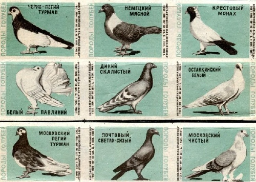 1965. Pigeons species