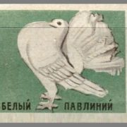 White peacock. Pigeons species, 1963, green paper