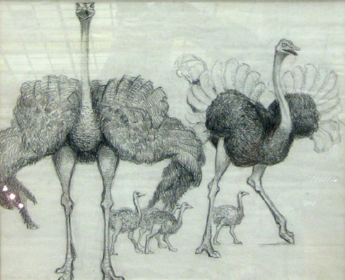 Common ostrich family